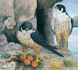 Cedric Morris: Peregrine Falcons