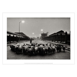 Don McCullin: Sheep Going to the Slaughter House poster